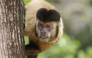 Institutos aprovam projeto de manejo populacional de macacos-pregos de Maringá