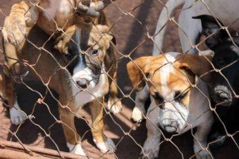Apucarana: Requerimento na Câmara prevê castração de cães