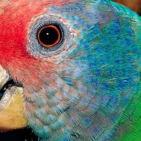 Papagaio-de-cara-roxa sai da lista nacional de espécies ameaçadas de extinção