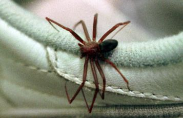 Alerta: calor é época de acidentes com aranha-marrom