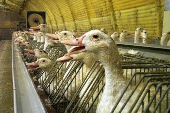 O consumo de foie gras está em baixa na França e na Europa