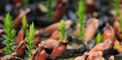 UFPR distribui mudas selecionadas de araucária