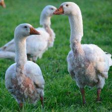 Projeto pretende proibir retirada de penas de aves vivas