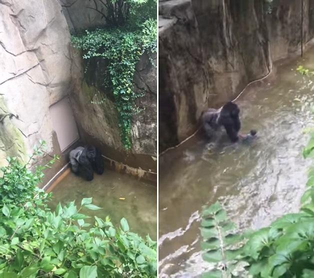 Morte de Harambe reacende o debate sobre segurança nos Zoológicos, afirma Rasca