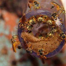 Projeto que cria incentivos à produção de abelhas nativas é aprovado na ALEP