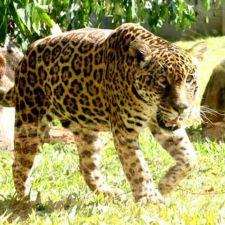 PL 413/2013 - Indenização de propriedades atacadas por animais silvestres