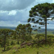 PL 559/2015 - Estabelece regras para preservação da mata de araucárias